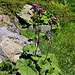 Grüner Alpendost (Adenostyles alpina).