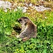 Alpenmurmeltier (Marmota marmota).