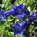 Enziane in sattem blau mit leichtem violett verfeinert.