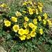 questi sono i fiori caratteristici del sentierino finale al rifugio....
