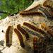"""Raupen des Frühlings-Wollafters (Eriogaster lanestris) in verschiedenen Entwicklungsstadien auf ihrem Gespinst<br />""""Der Frühlings-Wollafter (Eriogaster lanestris) ist ein [http://images.google.de/imgres?imgurl=https%3A%2F%2Fupload.wikimedia.org%2Fwikipedia%2Fcommons%2Fthumb%2F3%2F39%2FEriogaster_lanestris_MHNT_CUT_2011_0_446_Male_Ozoir-la-Ferri%2525C3%2525A8re.jpg%2F428px-Eriogaster_lanestris_MHNT_CUT_2011_0_446_Male_Ozoir-la-Ferri%2525C3%2525A8re.jpg&imgrefurl=https%3A%2F%2Fde.wikipedia.org%2Fwiki%2FFr%25C3%25BChlings-Wollafter&h=180&w=428&tbnid=nSdzji9qrPxsPM%3A&docid=BDZxFz_LKJRjfM&hl=de&ei=Kr-QV9yOCcijU5X3gfgG&tbm=isch&iact=rc&uact=3&dur=1067&page=1&start=0&ndsp=20&ved=0ahUKEwjcy8PHxoTOAhXI0RQKHZV7AG8QMwg6KA4wDg&bih=703&biw=1176 Schmetterling] (Nachtfalter) aus der Familie der Glucken (Lasiocampidae). Er kam in Deutschland weit verbreitet und häufig vor, steht aber heute, ebenso wie in Bayern, auf der Vorwarnliste bedrohter Arten. Die Weibchen legen ihre Eier auf dünne Ästchen und überdecken sie mit den langen Haaren ihres Afterbusches, um sie vor Fressfeinden zu schützen. Die Raupen leben zwischen Mai und Juni gemeinsam in einem großen, weißen Gespinst, das meist sackförmig von der Pflanze hängt. Erst am Ende ihrer Entwicklung werden sie Einzelgänger und verpuppen sich schließlich am Boden. Die Falter schlüpfen, überwiegend nach nur einer Überwinterung, bereits sehr früh im Jahr.<br /><br />Lebensraum: Waldränder und verbuschte Bereiche, aber auch Alleen und Parks.<br />Raupenfutterpflanzen: verschiedene Laubbaum- und Straucharten, besonders Hänge-Birke (Betula pendula) und Schlehe (Prunus spinosa), aber auch Eberesche (Sorbus aucuparia), Salweide (Salix caprea) u. a.<br />Flugzeit: Mitte März bis Mitte April.<br />Die Raupen findet man von Mai bis Juli.<br />Flügelspannweite: 30 – 35 mm.<br />Die Raupen werden ca. 45 mm lang."""" [http://nwv-schwaben.de/entomologie/gallmin/files/Naturfotografie/Artenpool/Zoologie/Fluginsekten/Schmetterlinge/Glucken/Fruehlings__W"""