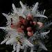 Fieberklee (Menyanthes trifoliata) im Ettaler Weidmoos
