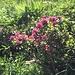 und die Alpenrosen blühen
