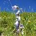 Fortsetzung Blumenpracht am Brienzergrat 1