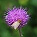 Falter und Blume