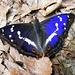 fluturile albastru paraul Urlatoarea Mare
