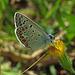 Polyommatus icarus, Hauhechel-Bläuling