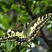 Leider immer seltener zu sehen: [http://www.bund-hessen.de/themen_und_projekte/natur_und_artenschutz/natur_erleben/s/schwalbenschwanz/ Schwalbenschwanz], [http://www.ilmacaone.it/natura/macaone-nome-scientifico-papilio-machaon/ Papilio machaon], purtroppo da noi si le vedono sempre più raramente  Der Schwalbenschwanz ist einer der größten und auffälligsten einheimischen Schmetterlinge. Bedingt durch seine Größe fliegt er auch sehr schnell, so dass er nur schwer zu fotografieren ist, wenn er erst einmal fliegt. Die Flügelspannweite kann bis zu 9 cm betragen. Zugleich ist er auch einer der schönsten Schmetterlinge. Seine Flügel sind hellgelb und weisen eine Vielzahl von Flecken und Adern auf. Die Hinterflügel weisen jeweils 6 blaue sowie einen roten Punkt auf. Die Hinterflügel enden in einem spitzen Fortsatz. Die erwachsene Raupe (nach 3. Häutung) des Schwalbenschwanz ist grün mit schwarzen Querstreifen. Auf den schwarzen Streifen finden sich orangene Punkte. Die Raupe kann bei Gefahr durch Duftdrüsen einen intensiven Abwehrgeruch erzeugen. Leider ist der Schwalbenschwanz nicht mehr allzu häufig anzutreffen. Er gilt als gefährdet, aber nicht vom Aussterben bedroht. Dies liegt vor allem an seinen Ernährungsgewohnheiten. Der Schwalbenschwanz bzw. die Raupe ernähren sich vor allem von der wilden Möhre, Dill, Karottenkraut und anderen Doldenblütlern (Umbelliferen). Auch dem häufigen Mähen von Wildwiesen fallen viele Raupen und Eier zum Opfer. [http://www.natur-lexikon.com/Texte/MZ/001/00014/MZ00014.html Text und Informationen aus]