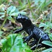 Einer von zahlreichen Salamandern hat nix gegen publicity und wirft sich in Pose...