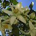 Mandarine (Citrus reticulata) all`Agricoop Terre del Granito a Vallebuia