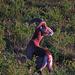 """Incontro con i [http://www.nove.firenze.it/mufloni-dellisola-delba.htm Mufloni] in pascolo<br />Einige Exemplare der Mufflons, Muflone, Ovis musimon, wurden in den 80er Jahren auf die Insel gebracht, um die """"Jäger glücklich zu machen"""". Wie einst auch die Wildschweine auf der Insel importiert wurden und dort heute vollkommen außer Kontrolle geraten sind. Die Mufflons haben sich inzwischen so stark vermehrt, dass der Bestand trotz Fangversuchen und Abschuss immer noch an die 500-600 Tiere beträgt (Korsika 400-600!), was negative Auswirkungen auf die Vegetation und den Ackerbau der Insel Elba hat. Somit hat die Verwaltung des Nationalparks Pläne, eventuell den kompletten Bestand von der Insel wieder zu entfernen und wieder nach Korsika und Sardinien zu schaffen, wo der Bestand der Mufflons eher Probleme hat. Die Mufflons sollen also wieder nach Hause gebracht werden, wo sie eigentlich herkamen."""