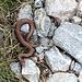 Mini-Schlange auf dem Weg