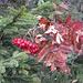 mit vorweihnachtlichem Charme - Eberesche im Tannenzweig
