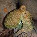 [http://f.hikr.org/files/2111724.jpg Octopus vulgaris, Gemeiner Krake, Polpo] Außer dass er die Farbe seiner Haut mit den darin enthaltenen Farbzellen (gelb, rot und braun)  durch Muskelkontraktion verändern kann, ist er auch fähig, die Oberflächenstruktur seiner Haut glatt oder mit Zotten erscheinen zu lassen. Einfach genial diese Tiere und viel zu schade, um sie zu töten und zu essen!!!!!!  La pelle del Polpo contiene cellule cromatofori, (con pigmenti gialli, rossi e bruni) che con contrazioni delle musculi possono cambiare il colore della pelle. In più è anche capace di cambiare la struttura della sua pelle da liscio alla produzione di nappe. Semplicemente geniali questi animali e troppo peccati da esser ammazzarti e mangiati!!!!!!