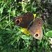 Wieder ein Schmetterling am Wegesrand