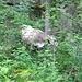 eine Waldkuh
