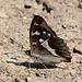 Vielleicht kennt jemand diese Schmetterlingsart? Nachtrag: Grosser Schillerfalter.