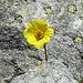 was schaut denn da zwischen den Felsen hervor: Petersbart Blüte