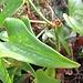 """Eine """"herzliche"""" Pflanze auf der Insel: Raue Stechwinde."""