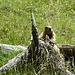 marmotta curiosa al punto di sosta prima dell'alp Trupchun