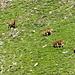in discesa lungo il sentiero alto: zoom sul versante opposto per gruppetto di cervi maschi al pascolo