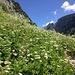 Unterhalb des Schafboden führt der Weg durch prächtige Blumenwiesen.
