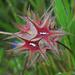 Kennen wir jetzt schon: Stern-Klee, Trifolium stellatum, nel frattempo lo conosciamo:-)