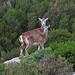 Mama muflone e il suo piccolo sui pendii sotto il Monte di Cote