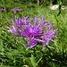 Herrlicher Anblick: Alpen-Flockenblume