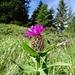 Diese Alpen-Flockenblume 'entfaltet' sich erst