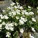 Hornkraut (Cerastium strictum)