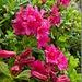 Alpenrosen in voller Blüte