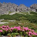 Alpenrosen blühen sehr viele