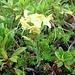 Pedicularis tuberosa L.<br />Orobanchaceae (incl. Scrophulariaceae p.p.)<br /><br />Pedicolare zolfina.<br />Pédiculaire tubéreuse.<br />Knoelliges Läusekraut.<br /><br />