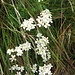 Achillea erba-rotta subsp. moschata (Wulfen) Vacc.<br />Asteraceae<br /><br />Millefoglio del granito.<br />Achillée musquée.<br />Moschus-Schafgarbe.<br />