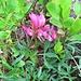Trifolium alpinum L.<br />Fabaceae<br /><br />Trifoglio alpino.<br />Tréfle des Alpes.<br />Alpen-Klee.