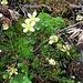 Saxifraga bryoides L.<br />Saxifragaceae<br /><br />Saxifraga brioide.<br />Saxifrage mousse.<br />Moosartiger Steinbrech.