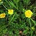 Potentilla aurea L.<br />Rosaceae<br /><br />Cinquefoglie fior d'oro.<br />Potentile Dorée.<br />Gold-Fingerkraut.