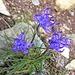Phyteuma hemisphericum  L. <br />Campanulaceae<br /><br />Raponzolo alpino.<br />Raiponce hémisphérique.<br />Halbkugelige Rapunzel.