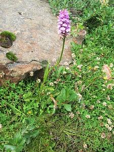 Dactylorhiza maculata (L.) Soo<br />Orchidaceae<br /><br />Orchide macchiata.<br />Orchis tacheté.<br />Geflecktes Knabenkraut.