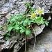 Potentilla caulescens L.<br />Rosaceae<br /><br />Cinquefoglie penzola.<br />Potentille caulescente.<br />Vielstängeliges Fingerkraut.