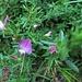 Ononis repens L.<br />Fabaceae<br /><br />Ononide strisciante.<br />Bugrane rampante.<br />Kriechende Hauhechel.