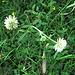 Trifolium montanum L.<br />Fabaceae<br /><br />Trifoglio montano.<br />Trèfle des montagnes.<br />Berg-Klee.