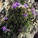 Phyteuma hemisphaericum L.<br />Campanulaceae<br /><br />Raponzolo alpino.<br />Raiponce Hémisphérique.<br />Halbkugelige rapunzel.<br /><br />