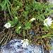 Cerastium uniflorum Clairv.<br />Caryophillaceae<br /><br />Peverina dei ghiaioni.<br />Céraiste uniflore.<br />Einblütiges Hornkraut.<br />
