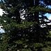 Uno dei meravigliosi Pini cembro che ricoprono i fianchi delle montagne della zona.