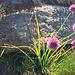 """Allium Schoenoprasum, più comunemente noto come """"erba cipollina"""""""