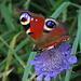 Unbeschreiblich schön finde ich die Zeichnug des Tagpfauenauges (Aglais io) / Quanto mi piace il disegno delle ali della pavonia!
