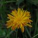 Es gibt noch einen schönen Gold-Pippau (Crepis aurea) / Si ne trovano ancora pochi