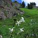 Rispige oder ästige Graslilie (Anthericum ramosum)